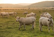 agriculture beef pasture seed