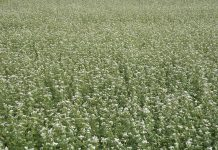 buckwheat cover crop agricultre