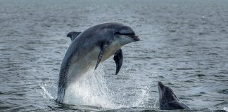 Wild Bottlenose dolphins jumping out of The Moray Firth near Inverness in Scotland.